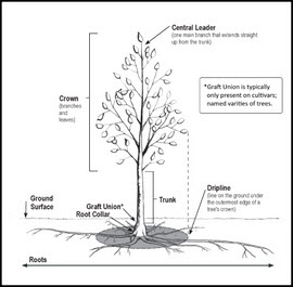 The correct way to plant a tree how a tree is planted will have a profound effect on the health and longevity of that tree there are many good sources of tree planting information online ccuart Image collections